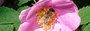 Pszczoła na kwiatku róży