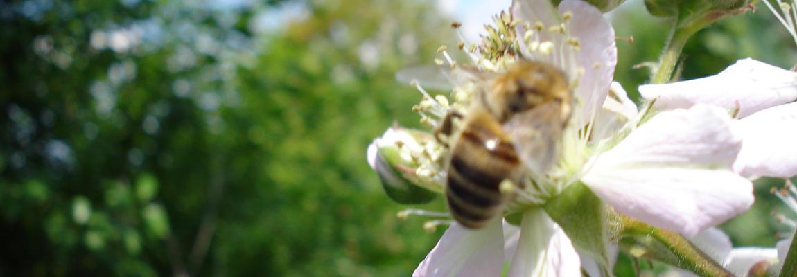 Seria: Pszczoły na kwiatach.